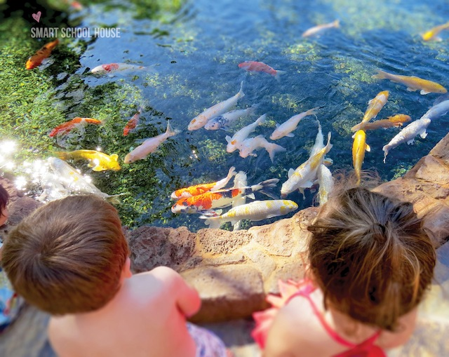Exploring the koi ponds at Disney's Aulani Resort in Hawaii