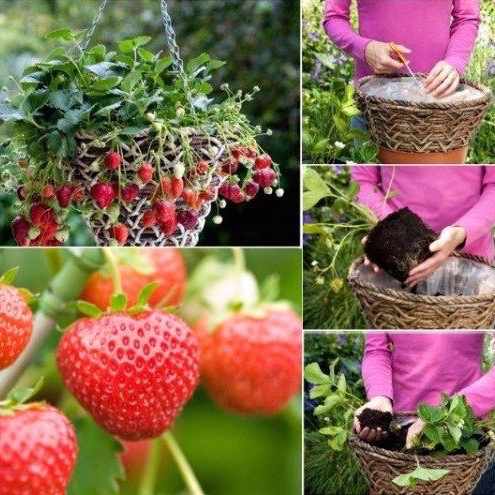 Strawberries are tricky to grow. Try this hack! Grow strawberry baskets - saving this!