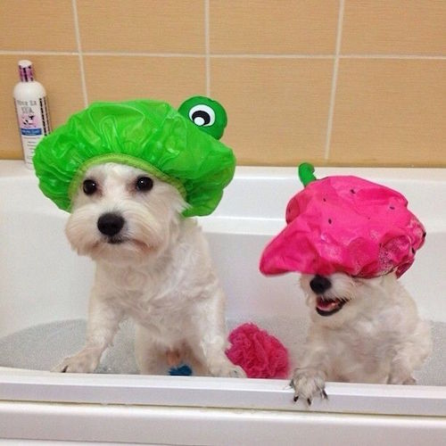 Use shower caps while giving your dog a bath to prevent too much soap and water from getting in their eyes and ears. When you're ready to wash their face and head, remove the cap!