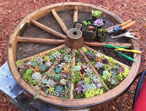 Wagon wheel succulent garden. Beautiful idea!