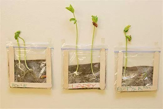 Grow bean sprouts in a bag